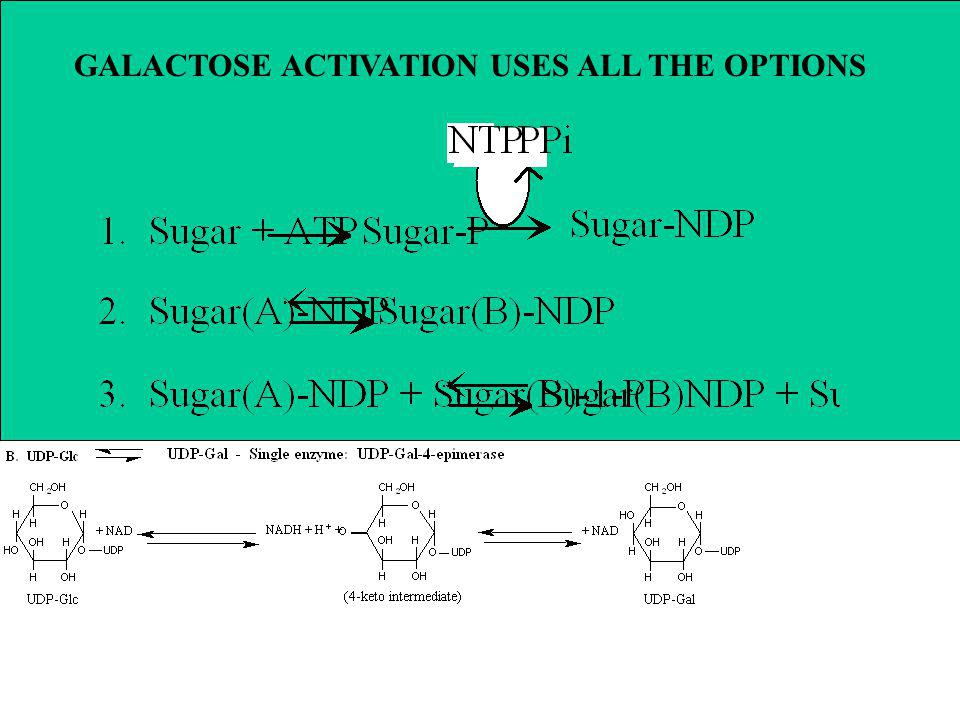 GALACTOSE ACTIVATION USES ALL THE OPTIONS