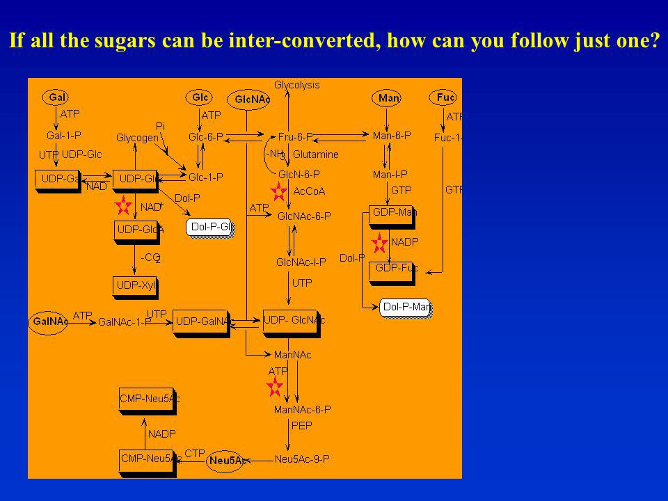 If all the sugars can be inter-converted, how can you follow just one