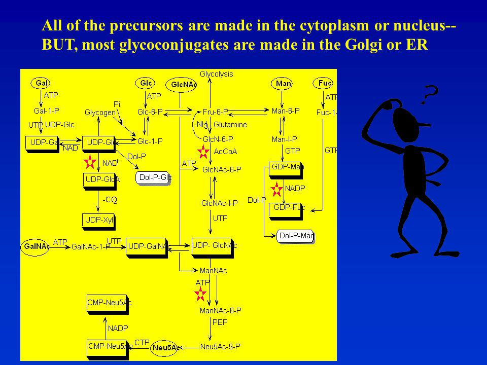 All of the precursors are made in the cytoplasm or nucleus-- BUT, most glycoconjugates are made in the Golgi or ER