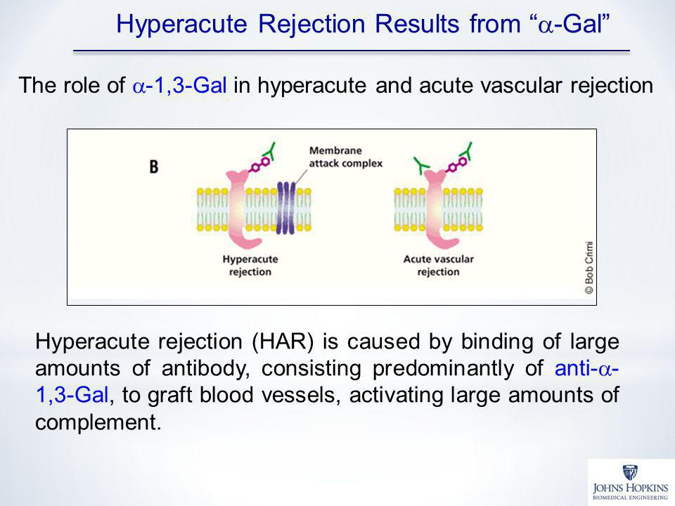 Hyperacute rejection (HAR) is caused by binding of large amounts of antibody, consisting predominantly of anti- - 1,3-Gal, to graft blood vessels, activating large amounts of complement.