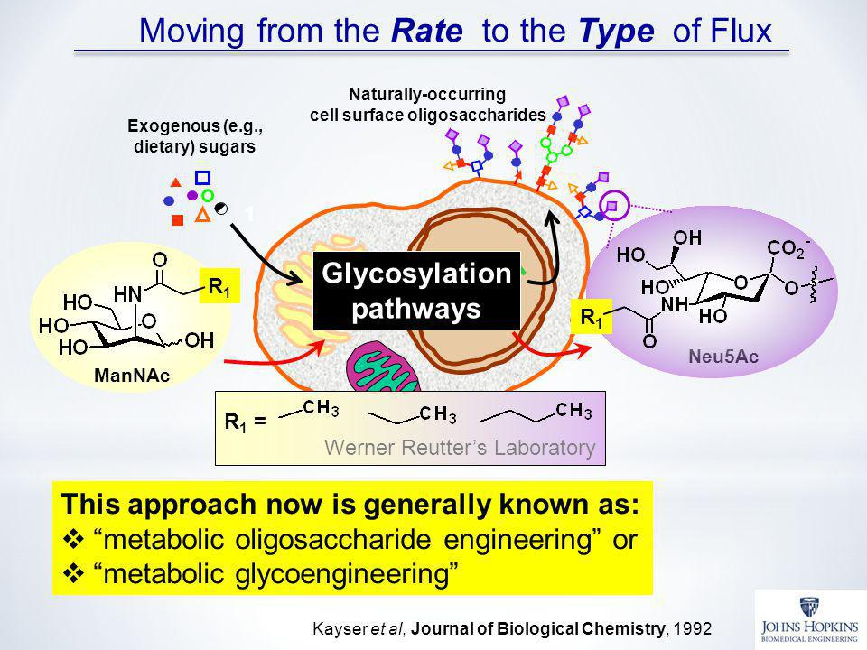 Glycosylation pathways Exogenous (e.g., dietary) sugars Naturally-occurring cell surface oligosaccharides 1 R 1 = Werner Reutters Laboratory ManNAc R1R1 Neu5Ac R1R1 Kayser et al, Journal of Biological Chemistry, 1992 Moving from the Rate to the Type of Flux This approach now is generally known as: metabolic oligosaccharide engineering or metabolic glycoengineering