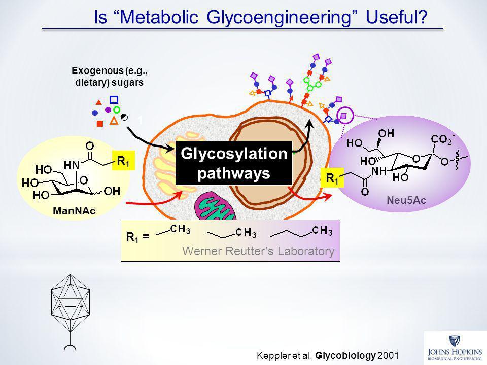 Is Metabolic Glycoengineering Useful? Glycosylation pathways Exogenous (e.g., dietary) sugars 1 R 1 = Werner Reutters Laboratory ManNAc R1R1 Neu5Ac R1