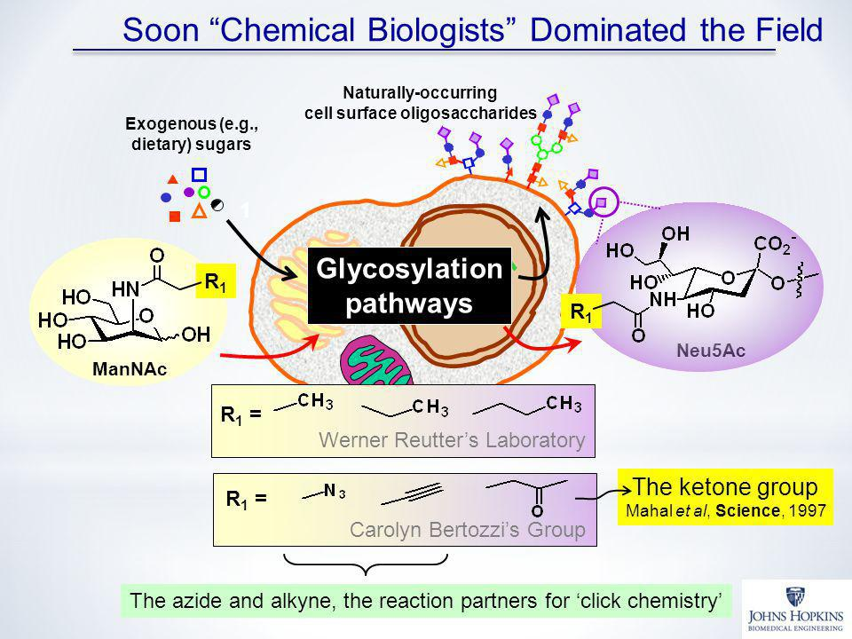 Soon Chemical Biologists Dominated the Field R 1 = Carolyn Bertozzis Group The ketone group Mahal et al, Science, 1997 Glycosylation pathways Exogenous (e.g., dietary) sugars Naturally-occurring cell surface oligosaccharides 1 R 1 = Werner Reutters Laboratory ManNAc R1R1 Neu5Ac R1R1 The azide and alkyne, the reaction partners for click chemistry