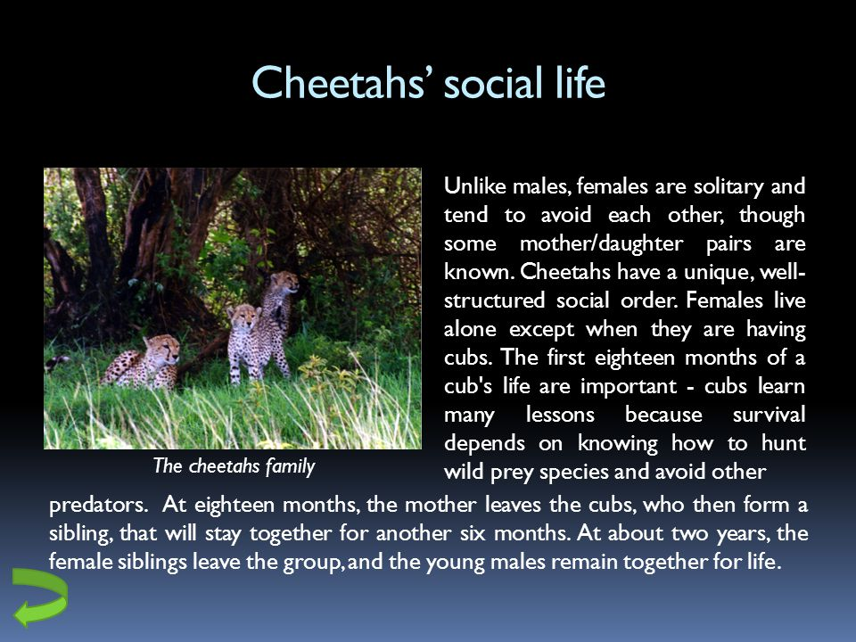 Cheetahs social life Unlike males, females are solitary and tend to avoid each other, though some mother/daughter pairs are known.