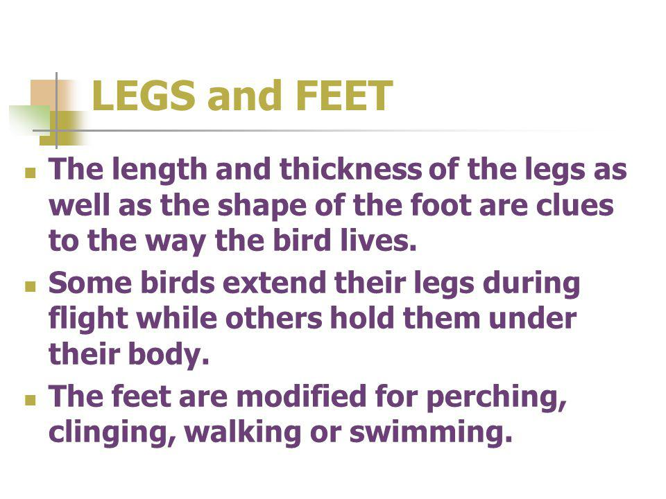 LEGS and FEET The length and thickness of the legs as well as the shape of the foot are clues to the way the bird lives. Some birds extend their legs