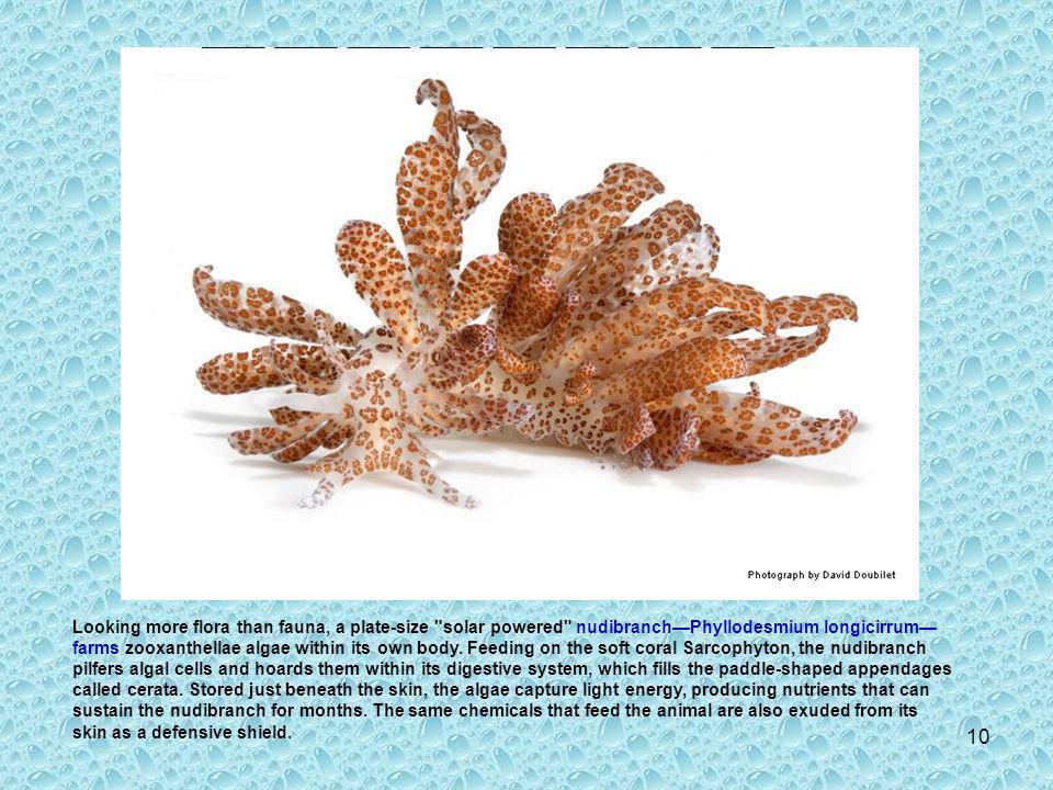 9 Flabellina exoptata Size: 1.2 in (3 cm)