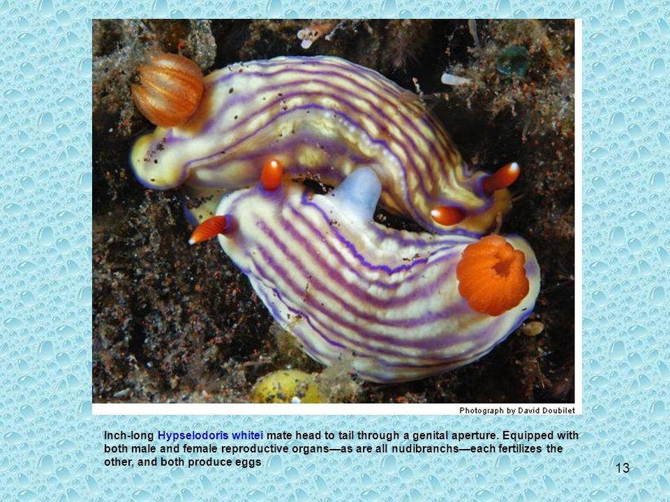 12 As adults, nudibranchs can be finicky eaters: A zebra-striped species of Armina, a genus that ranges to 8 inches long, plays tug-of-war with its sole prey, the burrowing sea pen.