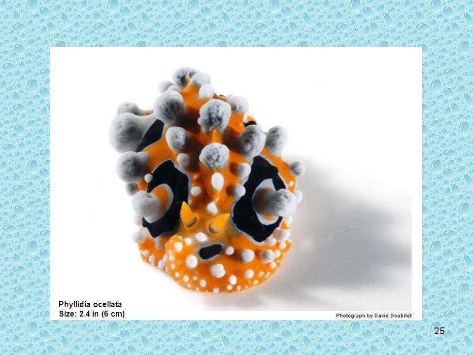 24 Phyllidiella pustulosa Size: 2.4 in (6 cm)