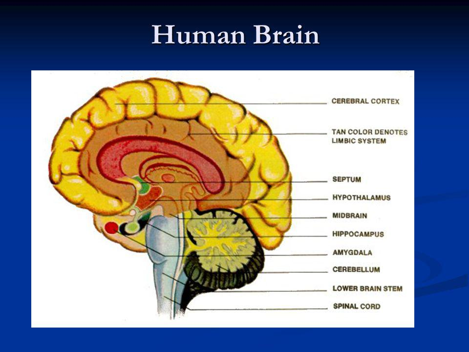Blood Supply to Human Brain