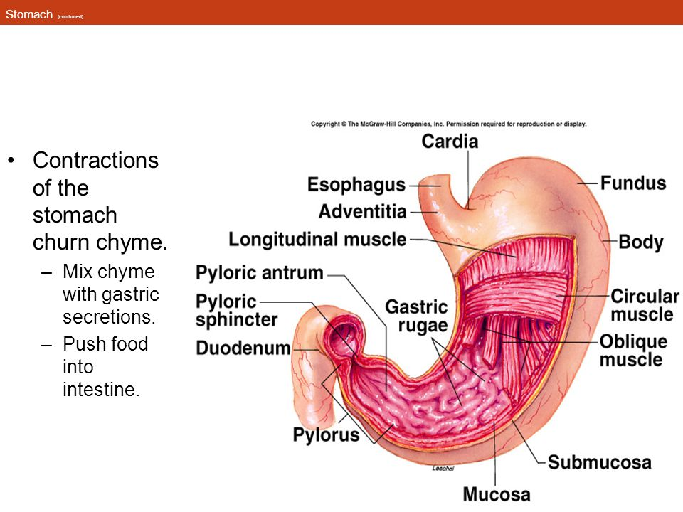 Stomach (continued) Contractions of the stomach churn chyme. –Mix chyme with gastric secretions. –Push food into intestine. Insert fig. 18.5