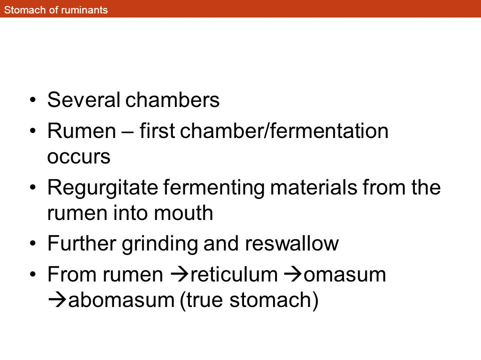 Stomach of ruminants Several chambers Rumen – first chamber/fermentation occurs Regurgitate fermenting materials from the rumen into mouth Further gri