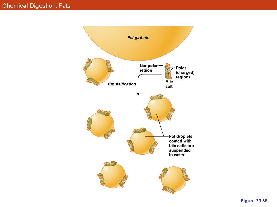 Chemical Digestion: Fats Figure 23.35