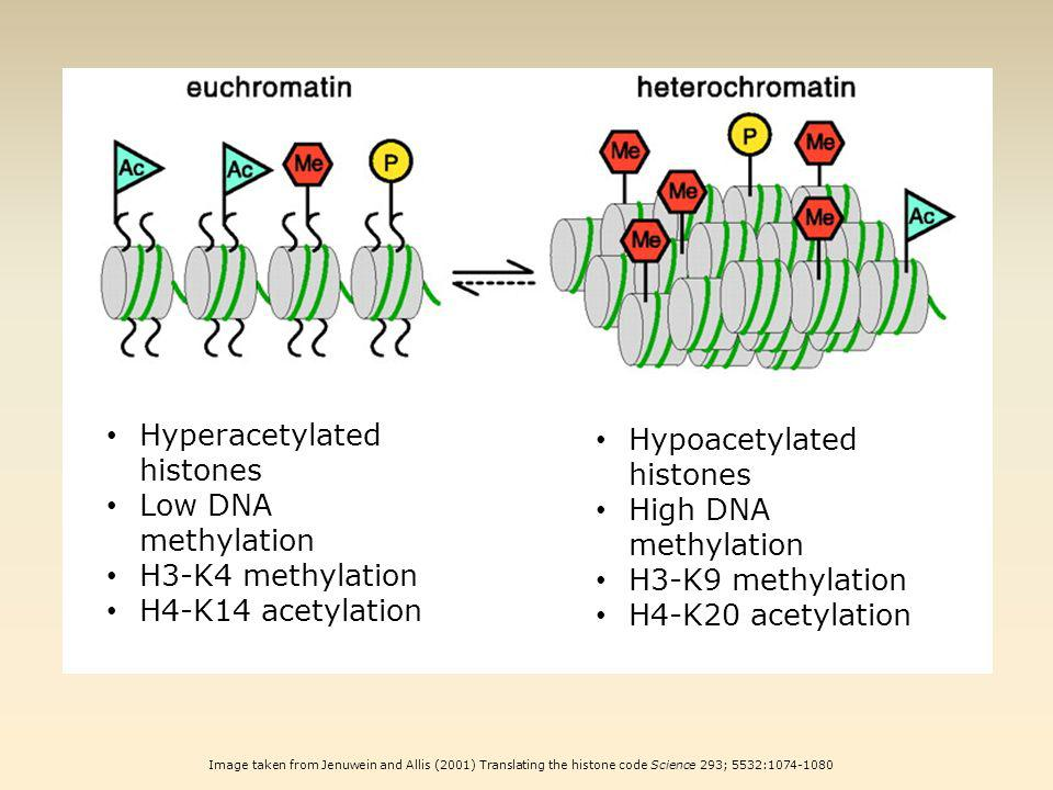 Image taken from Jenuwein and Allis (2001) Translating the histone code Science 293; 5532:1074-1080 Hyperacetylated histones Low DNA methylation H3-K4 methylation H4-K14 acetylation Hypoacetylated histones High DNA methylation H3-K9 methylation H4-K20 acetylation