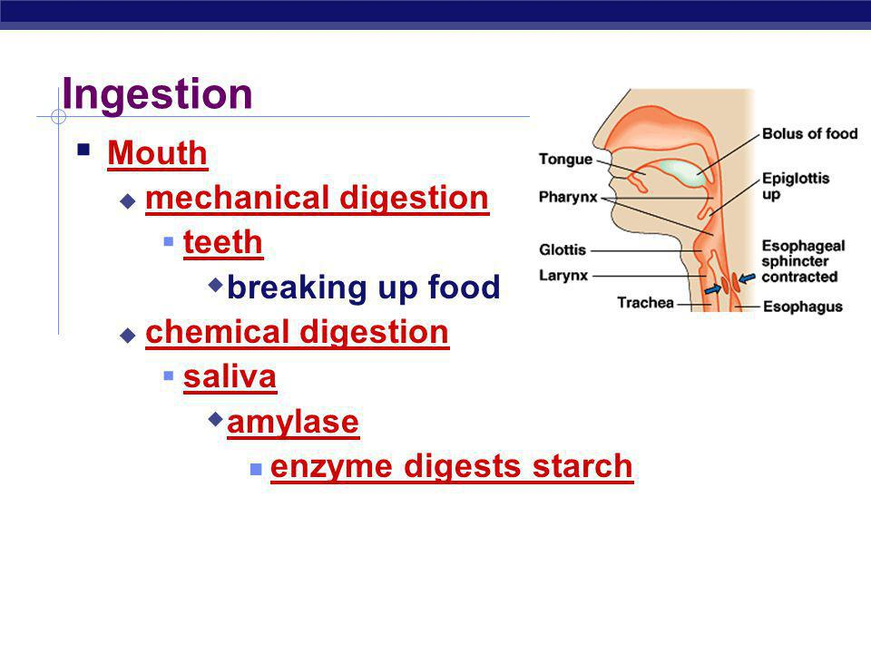 Swallowing (& not choking) Epiglottis flap of cartilage closes trachea (windpipe) when swallowing food travels down esophagus Peristalsis involuntary muscle contractions to move food along