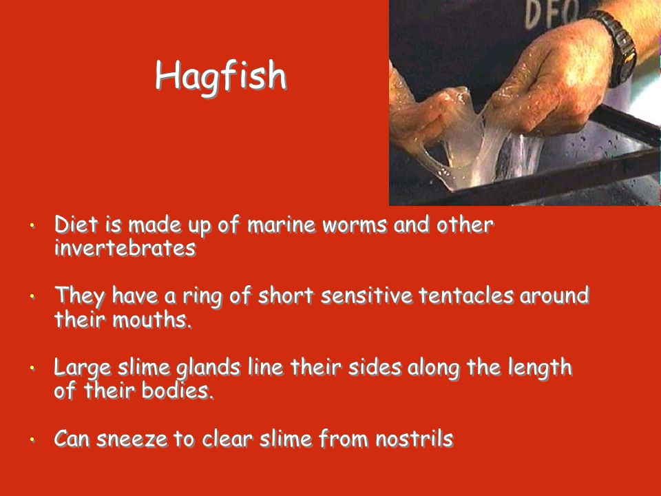 Hagfish Diet is made up of marine worms and other invertebrates They have a ring of short sensitive tentacles around their mouths. Large slime glands