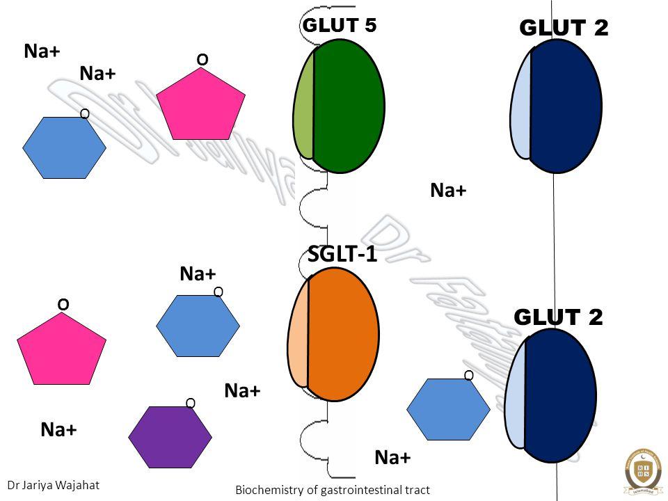 Dr Jariya Wajahat Biochemistry of gastrointestinal tract GLUT 5 GLUT 2 O Na+ O O SGLT-1 O Na+ O GLUT 2 O