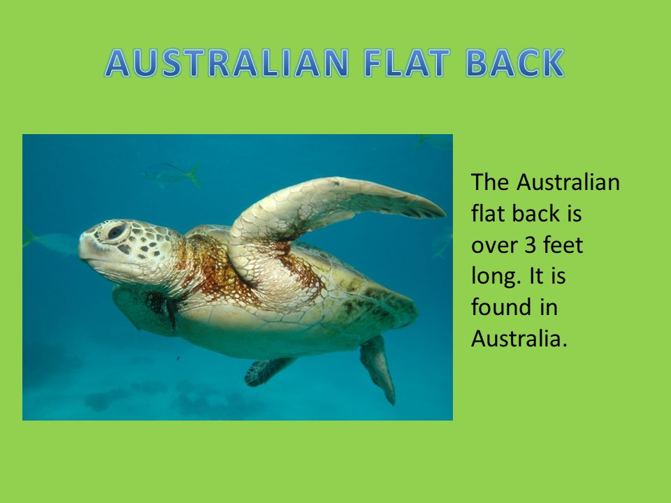 The Australian flat back is over 3 feet long. It is found in Australia.