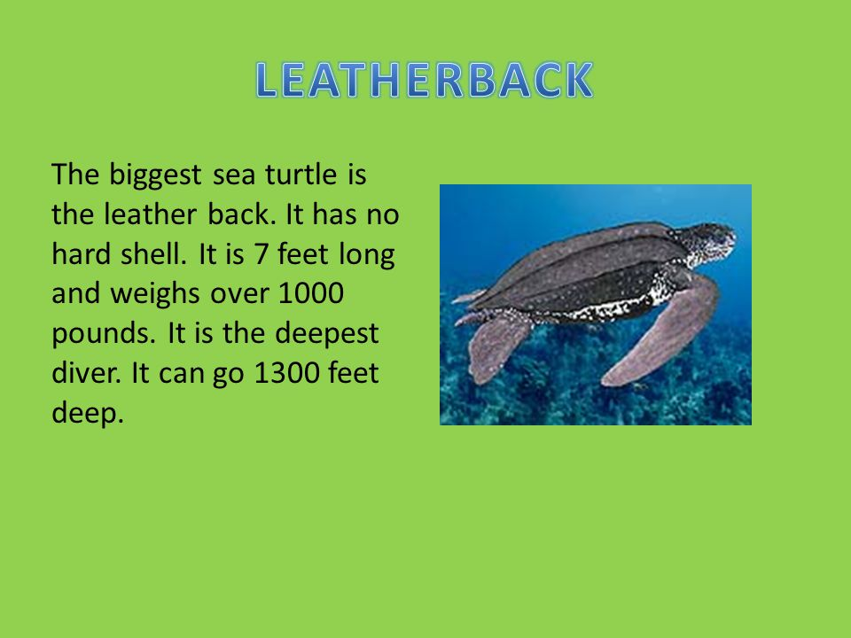 The biggest sea turtle is the leather back.It has no hard shell.