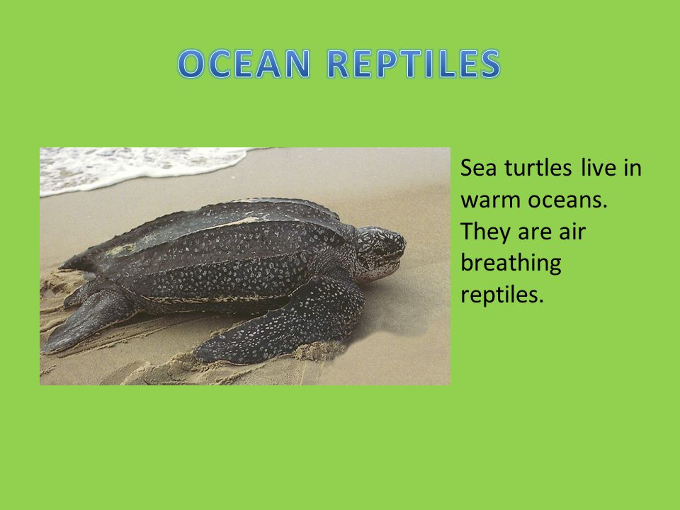 Sea turtles live in warm oceans. They are air breathing reptiles.