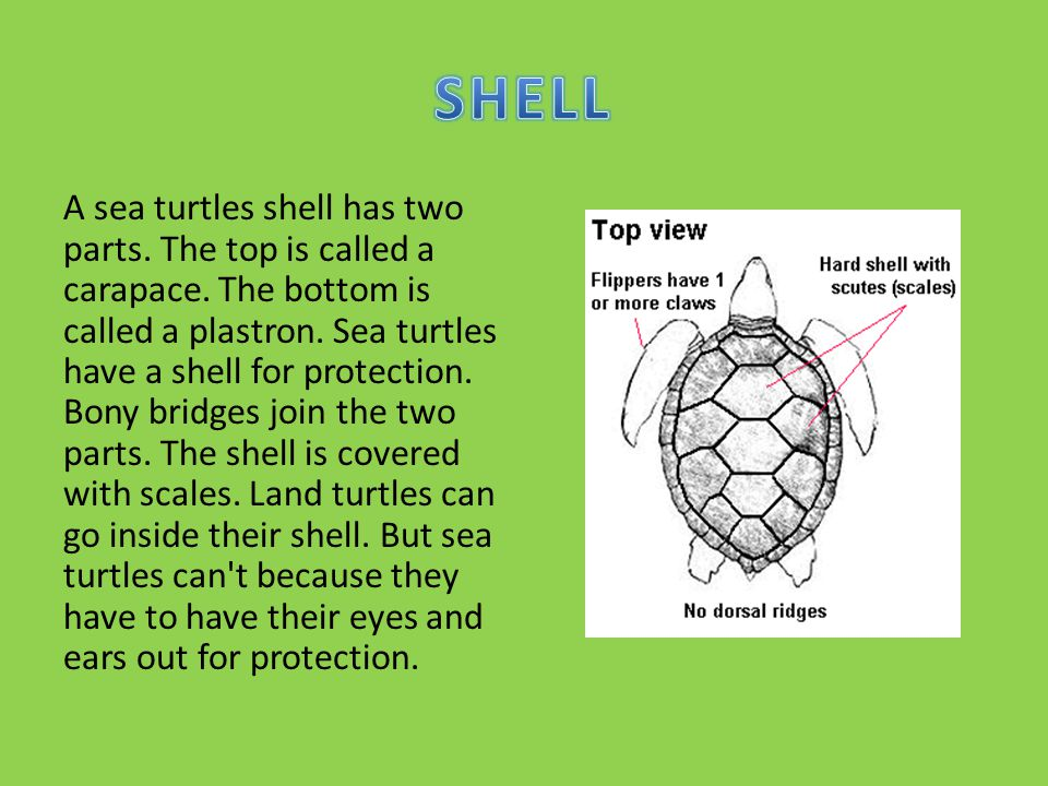 A sea turtles shell has two parts.The top is called a carapace.