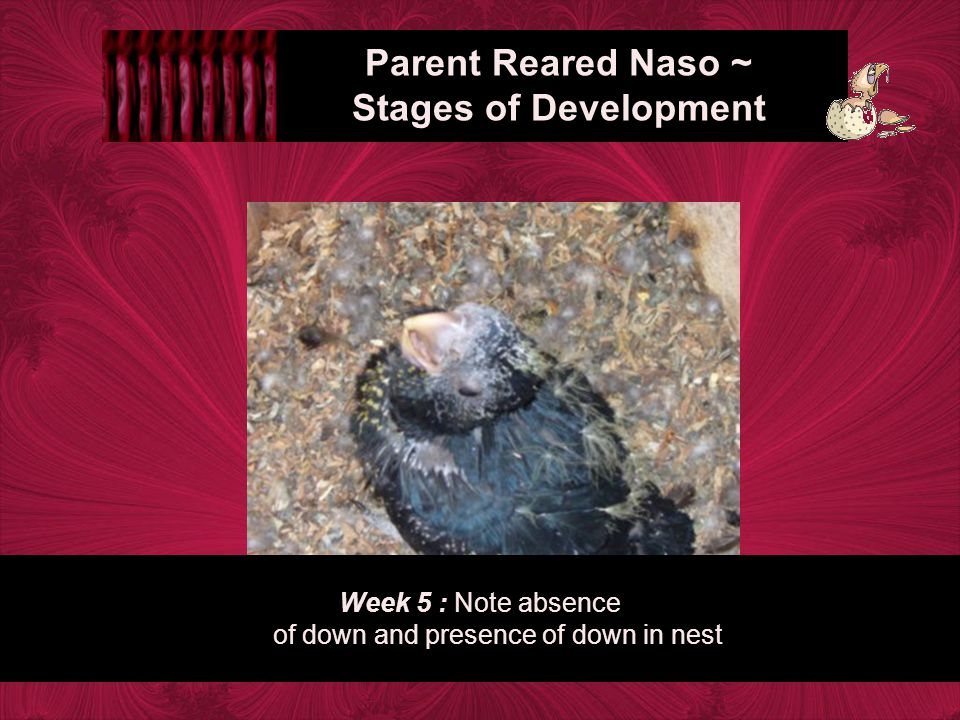 Week 5 : Note absence of down and presence of down in nest Parent Reared Naso ~ Stages of Development