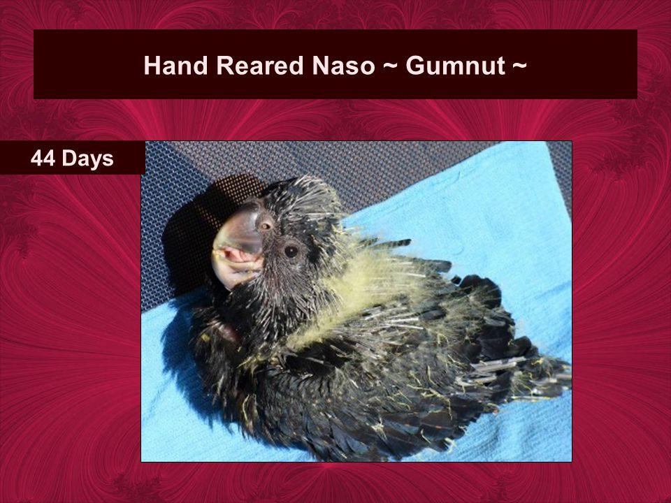 Hand Reared Naso ~ Gumnut ~ 44 Days