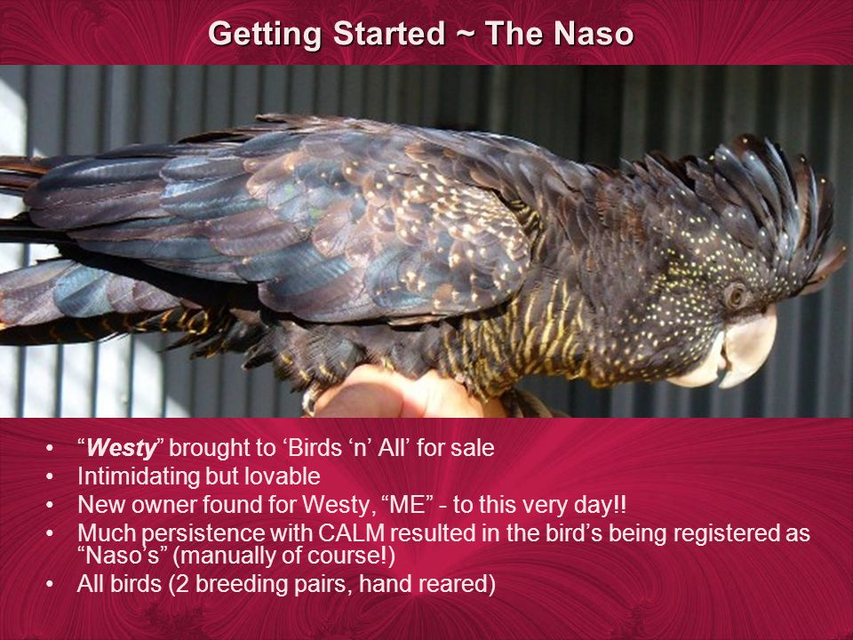 Getting Started ~ The Naso Westy brought to Birds n All for sale Intimidating but lovable New owner found for Westy, ME - to this very day!.