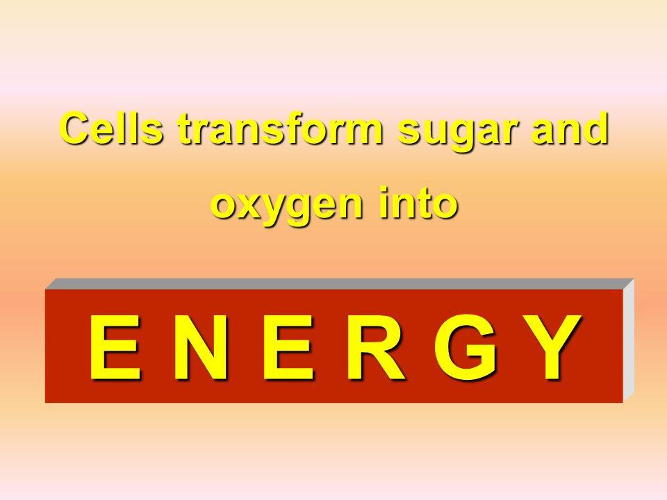 Cells transform sugar and oxygen into E N E R G Y