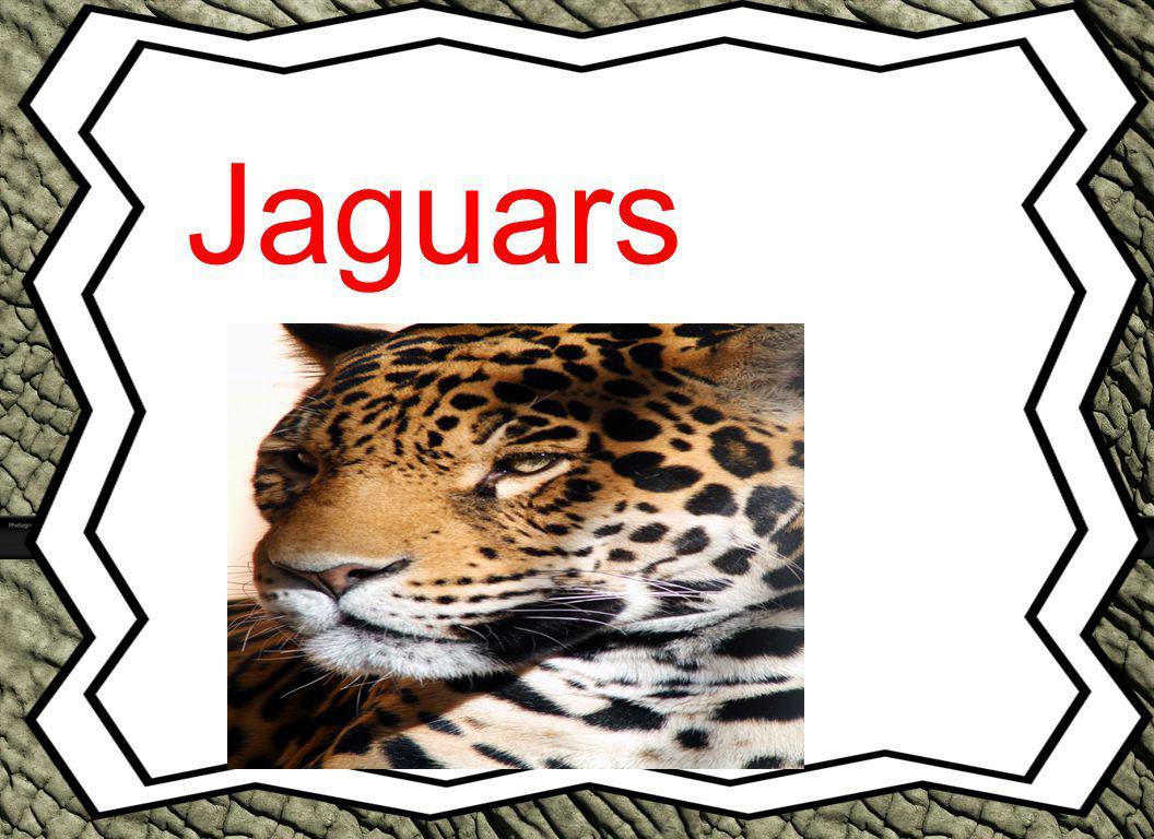 Table of Contents Introduction …………………………………p.3 What Do jaguars Look Like?………p.4 What Do jaguars Eat?....................p.5 Where Do jaguars Live?.......................p.6 Do jaguars Have Predators?.......................p.7 Interesting Facts About jaguars …………p.8 Conclusion …………………………………p.9