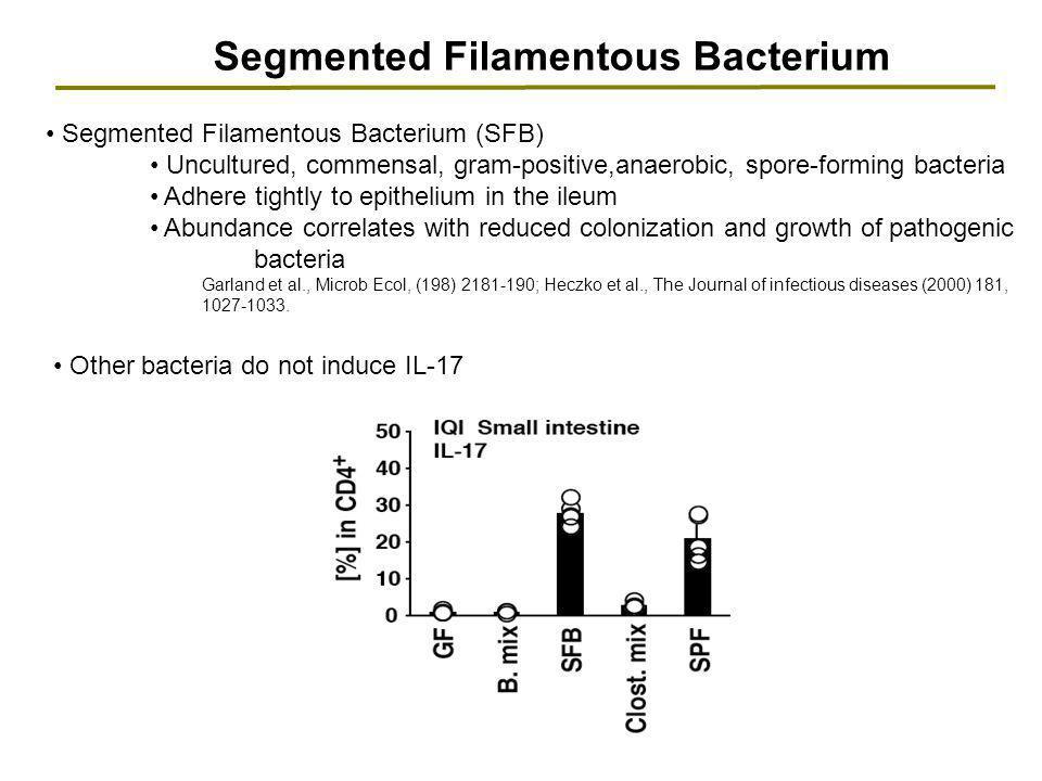 Segmented Filamentous Bacterium Segmented Filamentous Bacterium (SFB) Uncultured, commensal, gram-positive,anaerobic, spore-forming bacteria Adhere ti