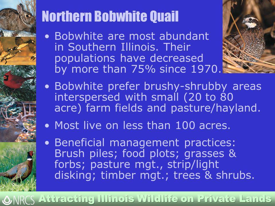 Northern Bobwhite Quail Bobwhite are most abundant in Southern Illinois.