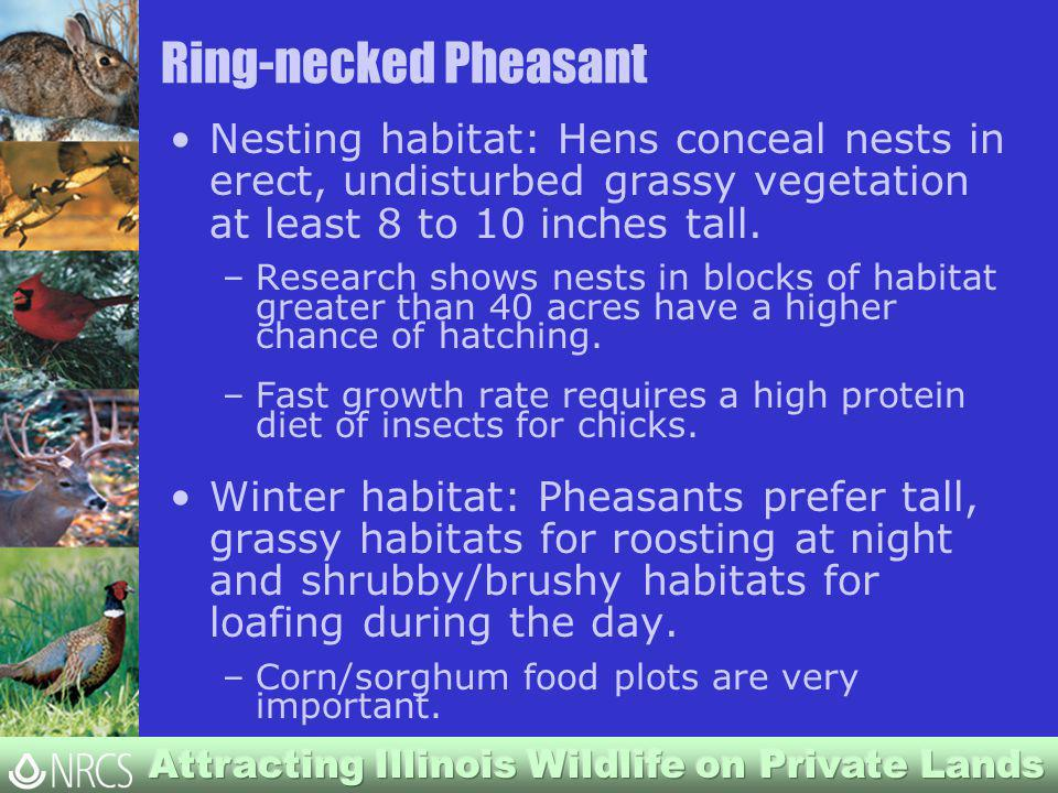 Ring-necked Pheasant Nesting habitat: Hens conceal nests in erect, undisturbed grassy vegetation at least 8 to 10 inches tall.
