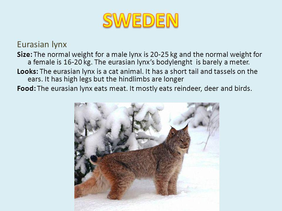 Eurasian lynx Size: The normal weight for a male lynx is 20-25 kg and the normal weight for a female is 16-20 kg. The eurasian lynxs bodylenght is bar