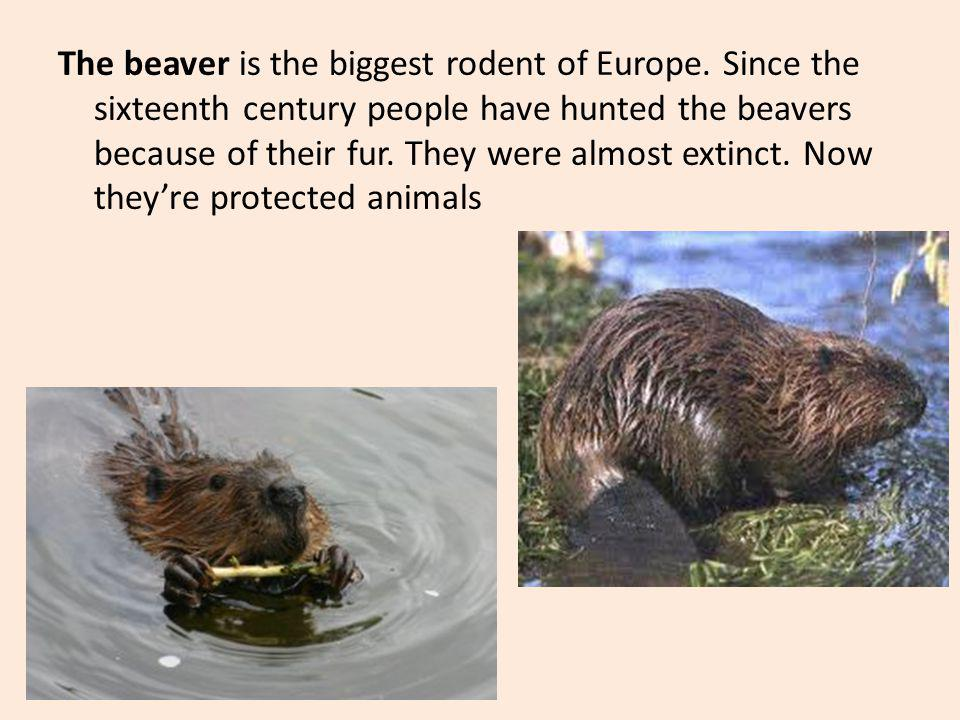 The beaver is the biggest rodent of Europe. Since the sixteenth century people have hunted the beavers because of their fur. They were almost extinct.
