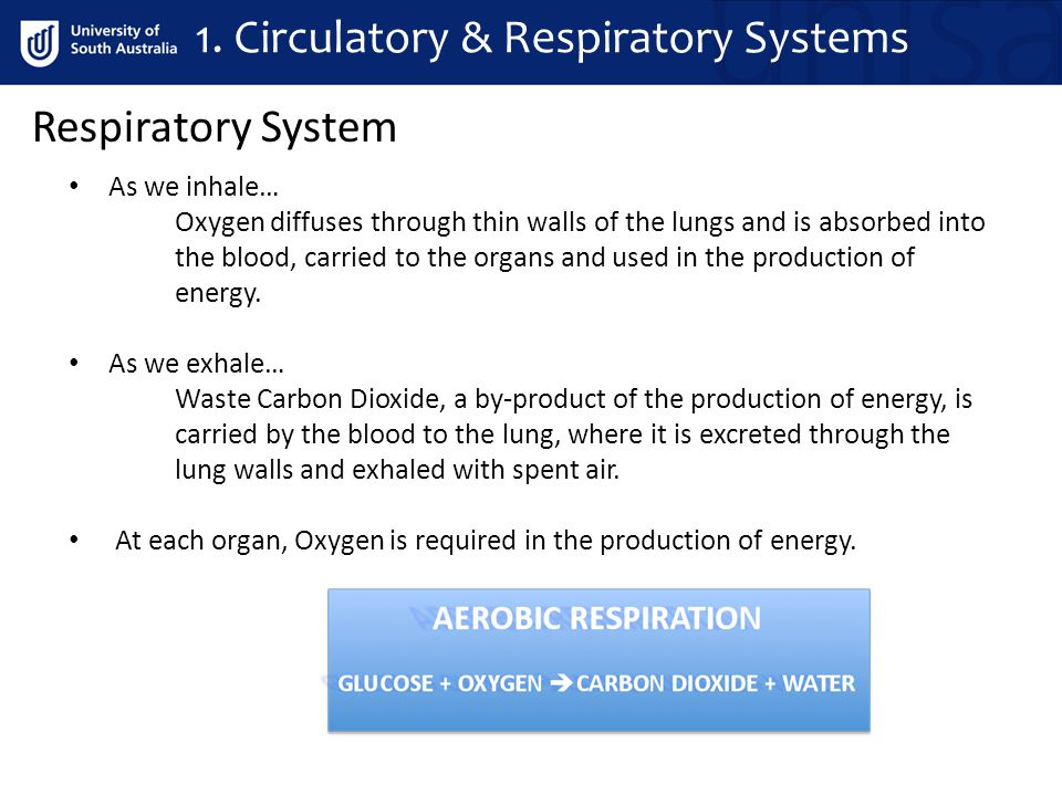 1. Circulatory & Respiratory Systems Respiratory System As we inhale… Oxygen diffuses through thin walls of the lungs and is absorbed into the blood,
