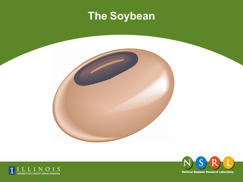 Schematic Drawing of a Soybean Seed Soya Handbook Cotyledon Hypocotyl Seed Coat