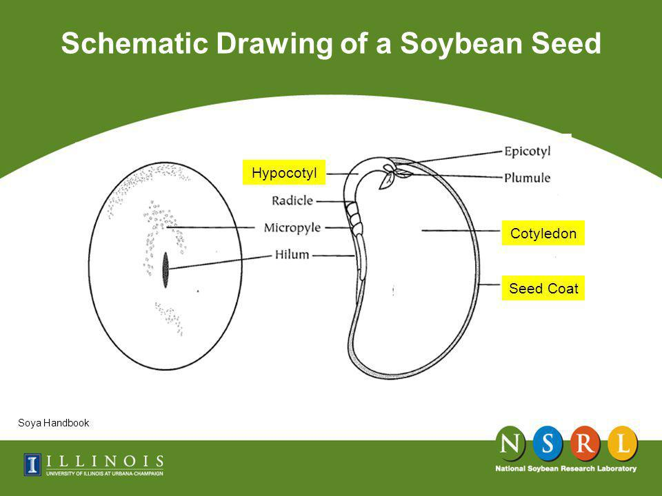 Schematic Drawing of a Soybean Seed Soya Handbook Cotyledon Hypocotyl Seed Coat