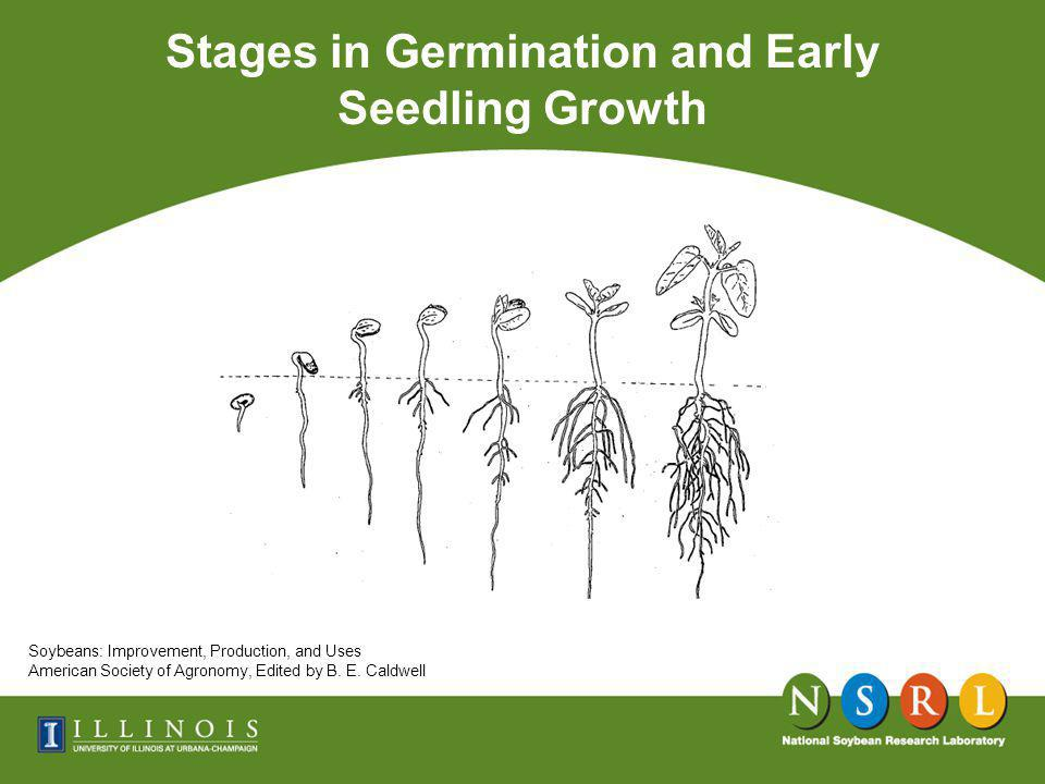 Stages in Germination and Early Seedling Growth Soybeans: Improvement, Production, and Uses American Society of Agronomy, Edited by B.
