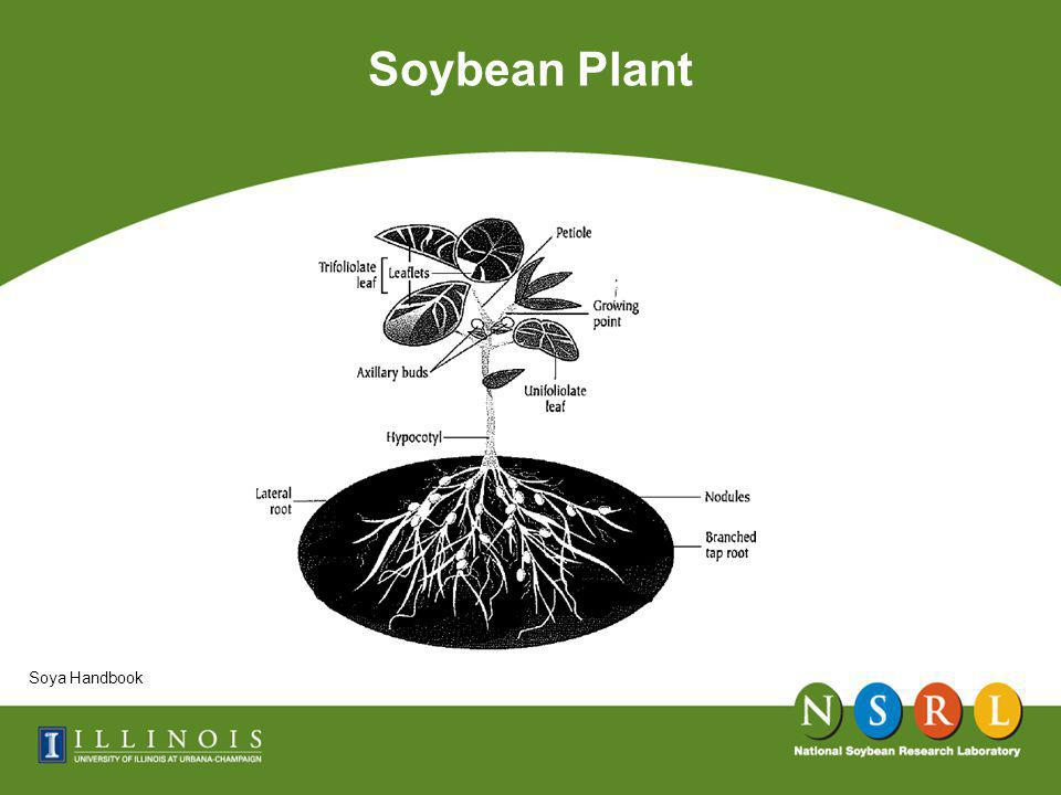 Well Nodulated Soybean Root System Soybeans: Improvement, Production, and Uses American Society of Agronomy, Edited by B.