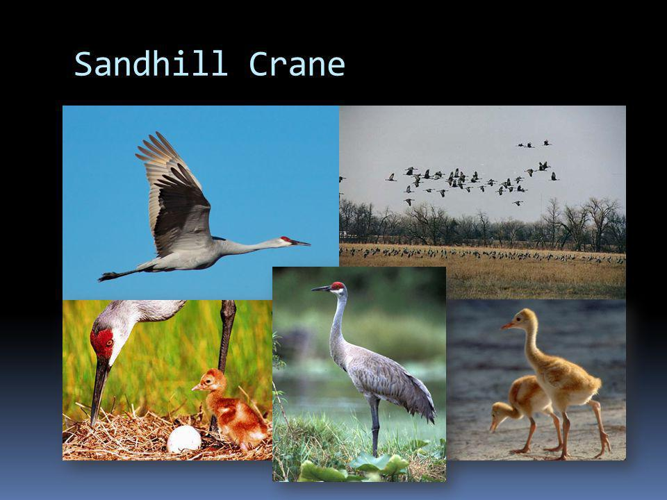 Fast Facts Sandhill Crane range Fast Facts Type: Bird Diet: Omnivore Average lifespan in the wild: 20 years Size: Body, 31.5 to 47.2 in (80 to 120 cm); Wingspan, 5 to 6 ft (1.2 to 1.3 m) Weight: 6.5 to 14 lbs (3 to 6.5 kg)