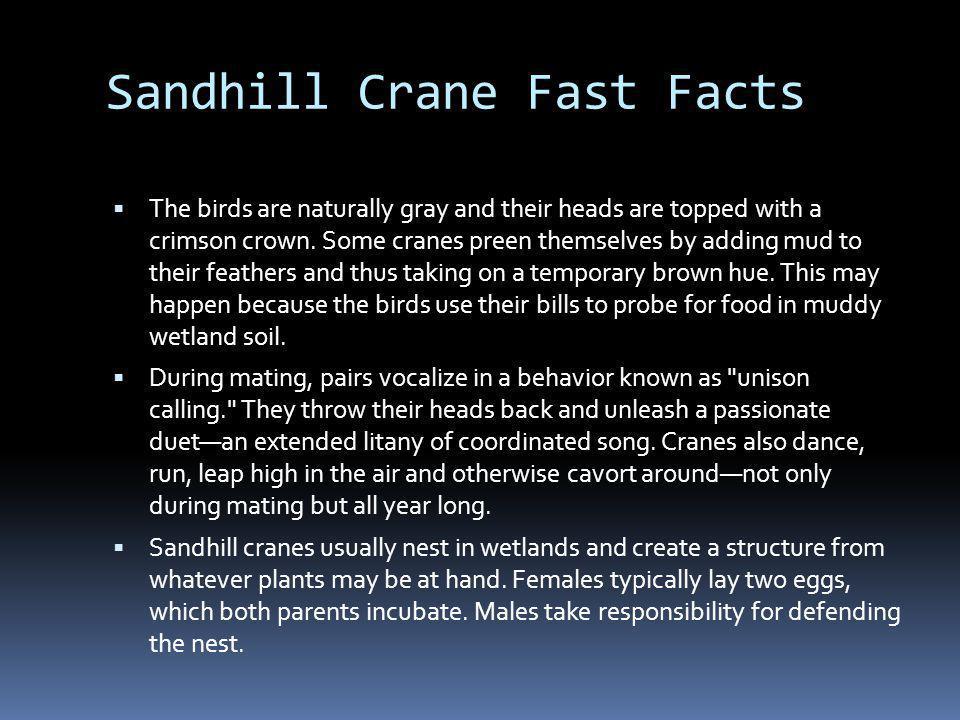 Sandhill Cranes in flight…