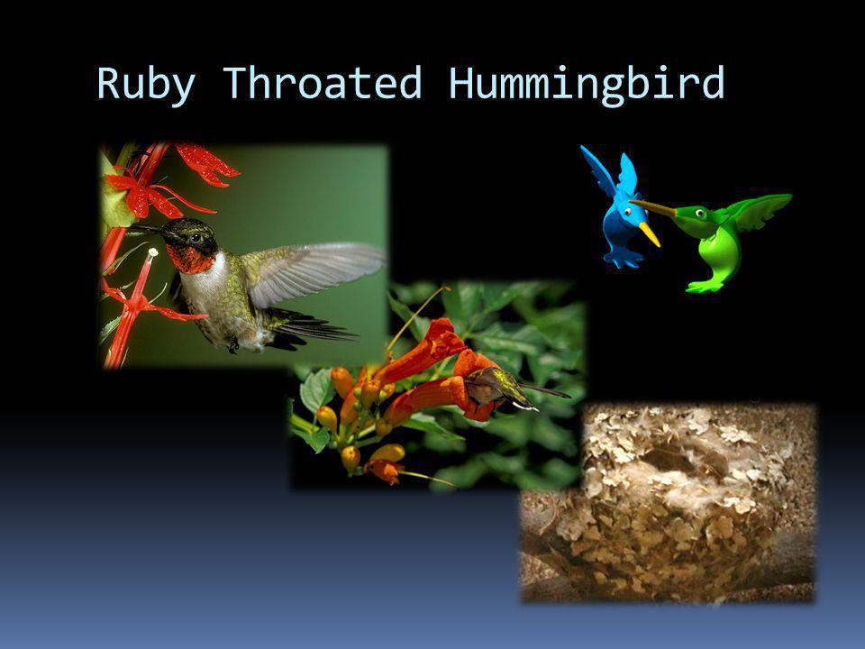 Fast Facts Ruby Throated Hummingbird Range Type: Bird Diet: Omnivore Average lifespan in the wild: 5 to 9 years Size: 3 to 4 in (7 to 9 cm) Weight: 0.07 to 0.21 oz (2 to 6 g) Did you know.