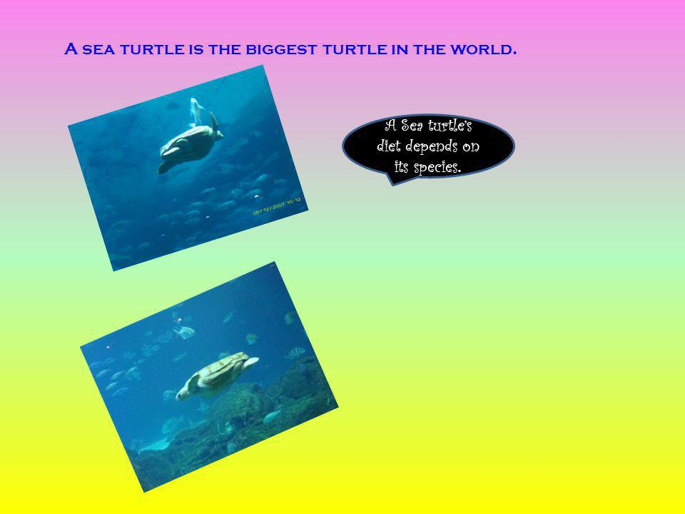 A sea turtle is the biggest turtle in the world. A Sea turtles diet depends on its species.