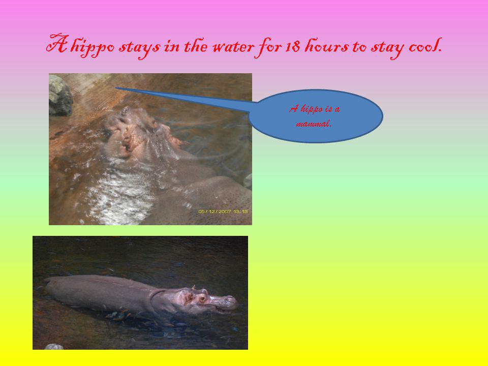 A hippo is a mammal. A hippo stays in the water for 18 hours to stay cool.