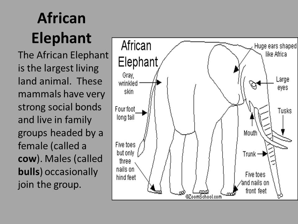 African Elephant Anatomy: African elephants average about 10 feet tall at the shoulder, weighing roughly 6 tons.