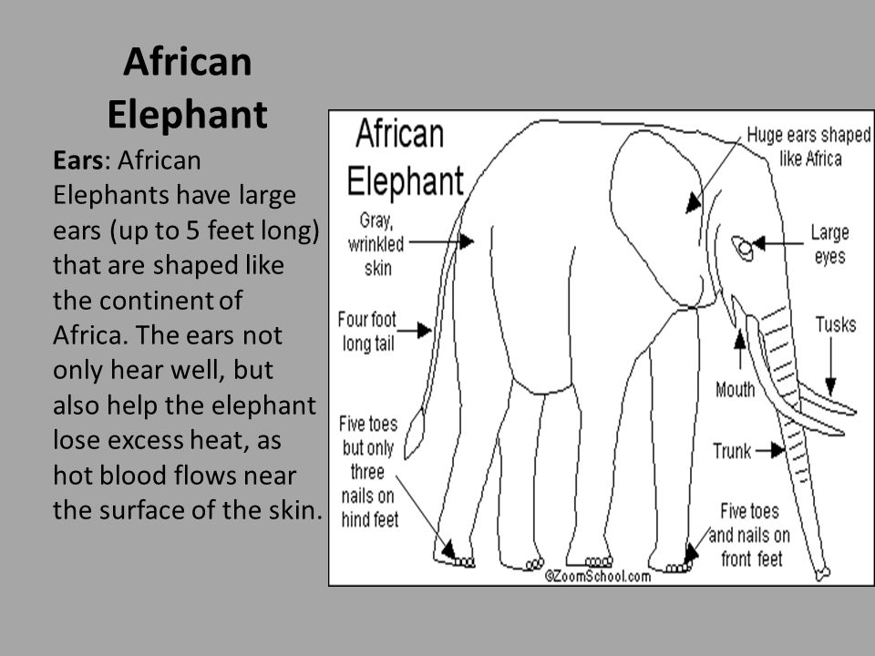 Ears: African Elephants have large ears (up to 5 feet long) that are shaped like the continent of Africa.
