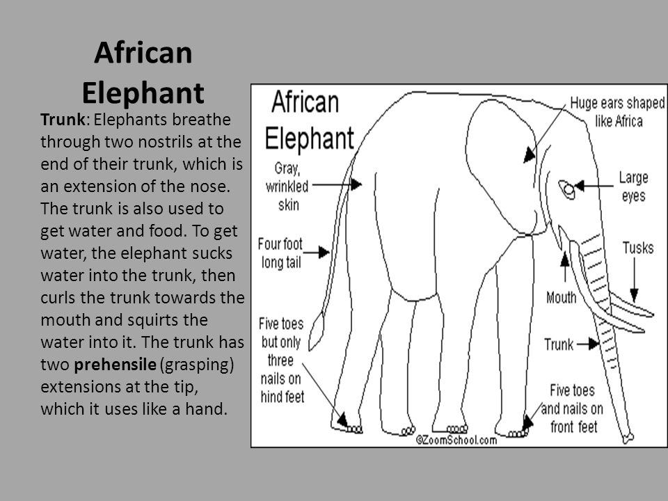 Diet: Elephants eat roots, grasses, leaves, fruit, and bark.