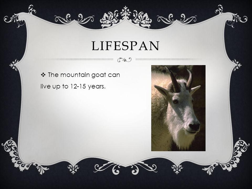 The mountain goat can live up to 12-15 years. LIFESPAN