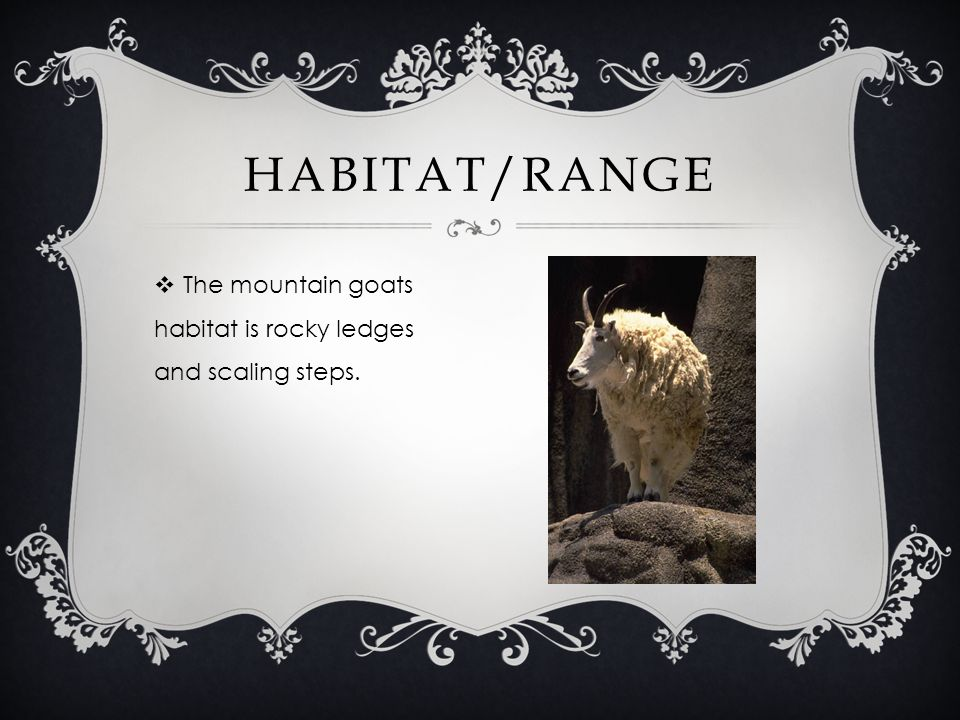 The mountain goats habitat is rocky ledges and scaling steps. HABITAT/RANGE
