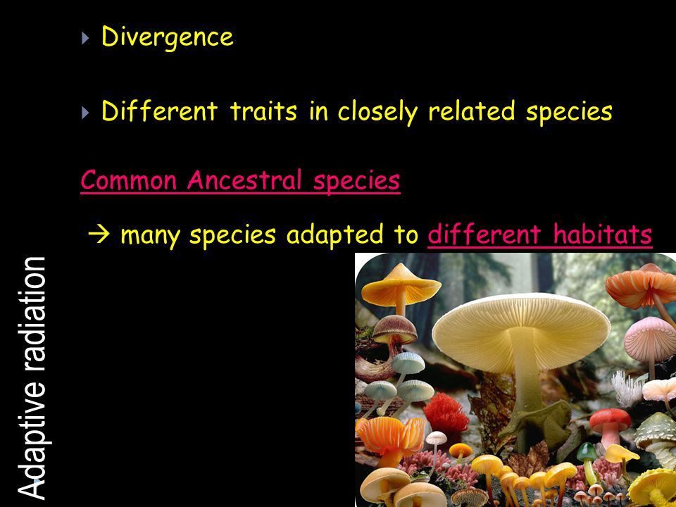Adaptive radiation Divergence Different traits in closely related species Common Ancestral species many species adapted to different habitats